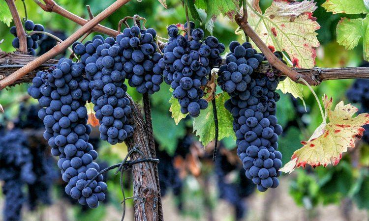 sag-grapes
