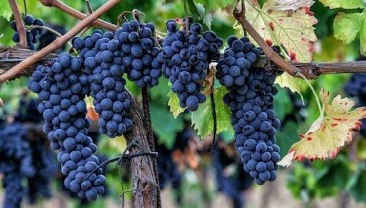 sagrantino grapes small