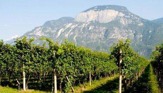 castelfeder-pinot-grigio-vineyard
