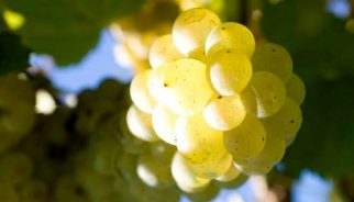 trebbiano-grapes-750x400